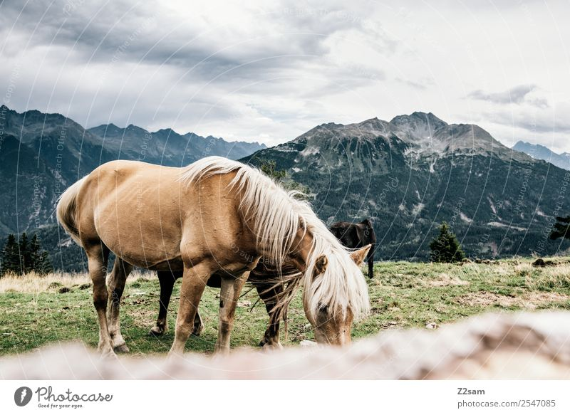 Pitztal horses Vacation & Travel Adventure Mountain Hiking Environment Nature Landscape Sky Clouds Summer Meadow Alps Horse 1 Animal Herd Eating Feeding Stand