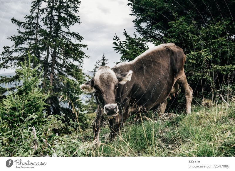 Pitztal cow Mountain Hiking Nature Landscape Sky Clouds Autumn Grass Meadow Forest Cow 1 Animal Movement Looking Stand Romp Large Power Fear Dangerous Stress