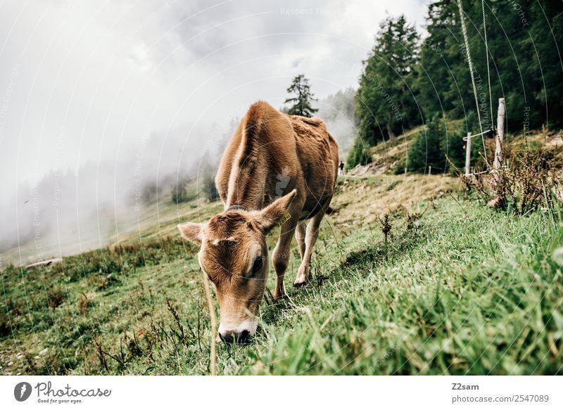 Pitztal calf Mountain Hiking Environment Nature Landscape Autumn Bad weather Fog Alps Farm animal Cow 1 Animal Eating Feeding Stand Elegant Sustainability