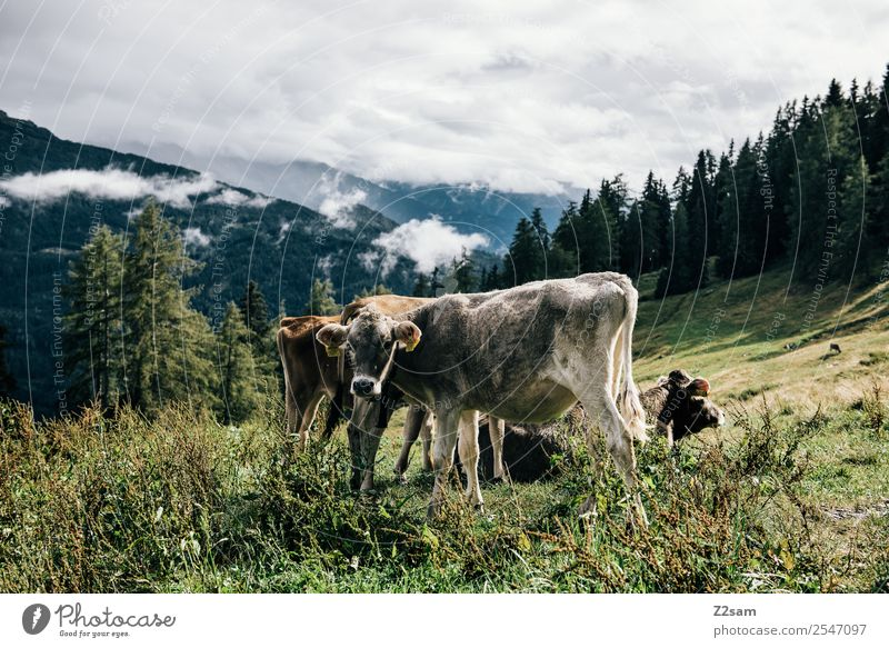 Pitztal cows Mountain Environment Nature Landscape Sky Clouds Summer Beautiful weather Grass Forest Alps Cow 2 Animal Herd Stand Sustainability Natural Gray