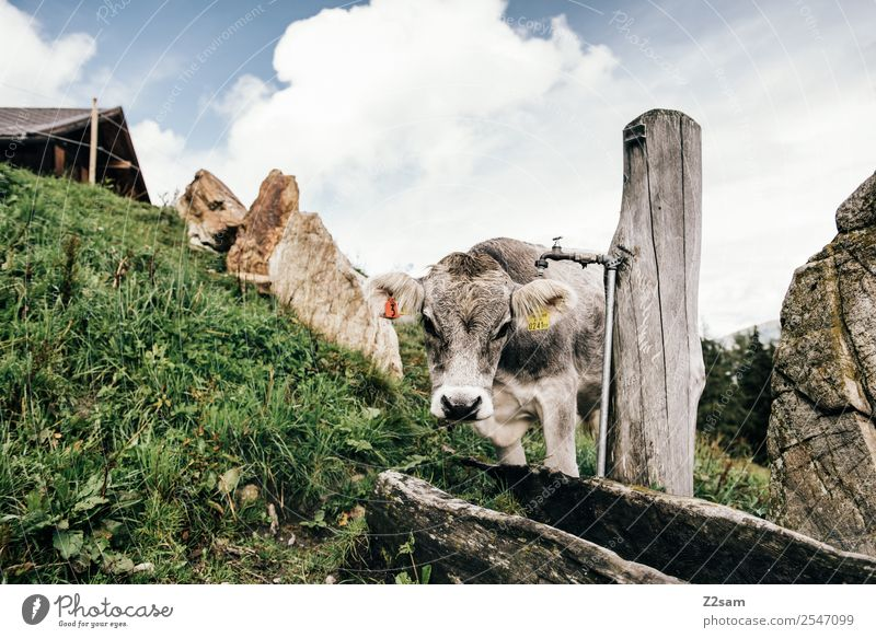 Pitztal cows Vacation & Travel Mountain Hiking Environment Nature Landscape Sky Clouds Summer Beautiful weather Grass Alps Cow 1 Animal Sustainability Natural