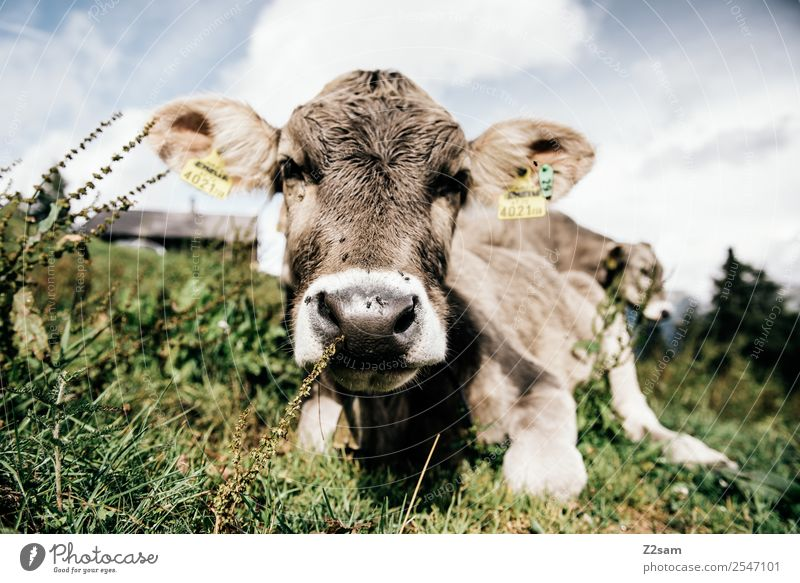 Pitztal calf Vacation & Travel Hiking Environment Nature Landscape Sky Clouds Summer Beautiful weather Flower Grass Alps Mountain Cow 1 Animal Herd Relaxation
