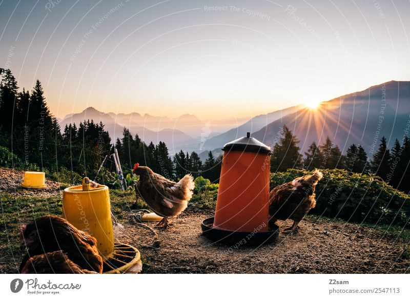 Chickens before sunrise Vacation & Travel Tourism Trip Summer vacation Hiking Environment Nature Landscape Sky Sun Beautiful weather Alps Farm animal Gamefowl