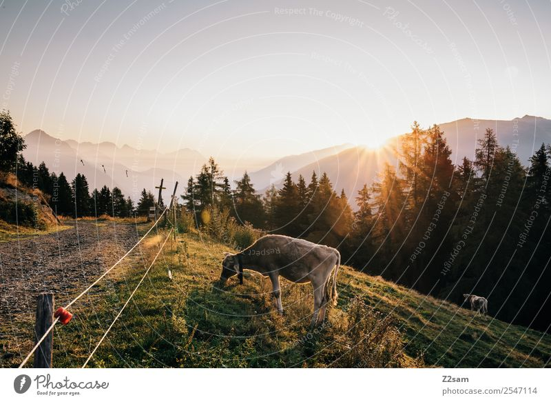 Sunrise | Cow | Pitztaler Alps Vacation & Travel Tourism Mountain Hiking Nature Landscape Sunset Sunlight Summer Beautiful weather Meadow Eating Sustainability