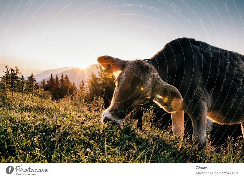 Cow before sunrise Vacation & Travel Tourism Hiking Nature Landscape Sun Sunrise Sunset Sunlight Summer Beautiful weather Grass Alps Mountain Eating Stand