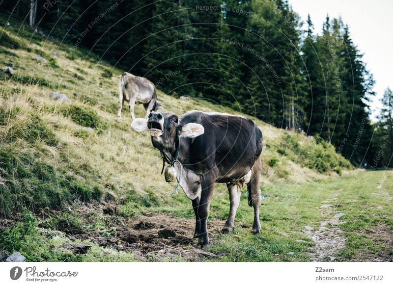 Mooing cow Vacation & Travel Mountain Hiking Nature Landscape Beautiful weather Forest Alps Cow 2 Animal Sustainability Natural Green Happy Contentment Calm