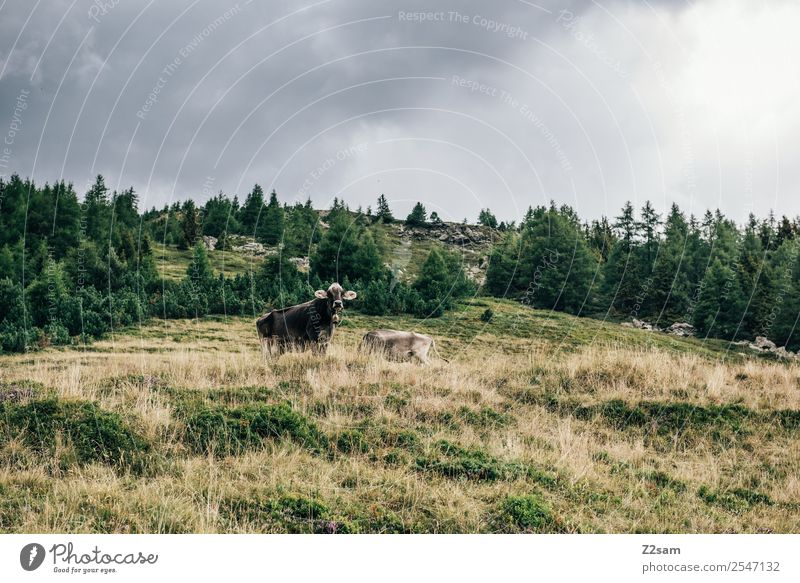 Pitztal cows Mountain Hiking Nature Landscape Storm clouds Autumn Bad weather Meadow Alps Cow 2 Animal Herd Looking Stand Together Sustainability Natural