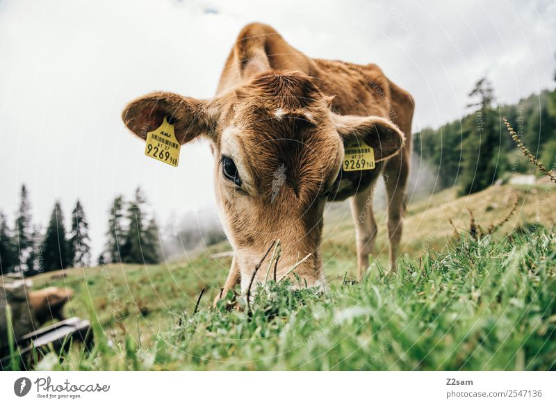 Pitztal calf Mountain Hiking Environment Nature Landscape Summer Fog Grass Meadow Alps Cow Calf Baby animal Eating Stand Natural Brown Attentive Calm Relaxation