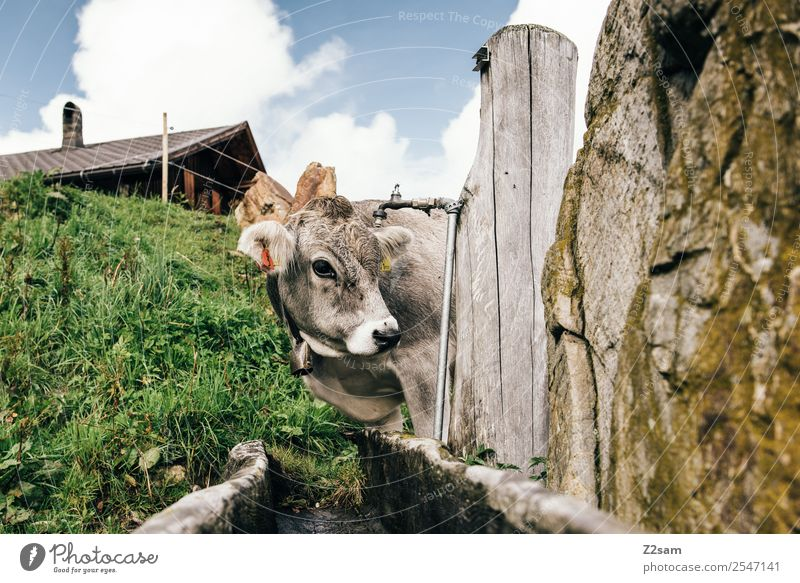 Pitztal calf Vacation & Travel Trip Mountain Hiking Nature Landscape Sky Clouds Summer Beautiful weather Meadow Alps Cow 1 Animal Looking Natural Curiosity Cute