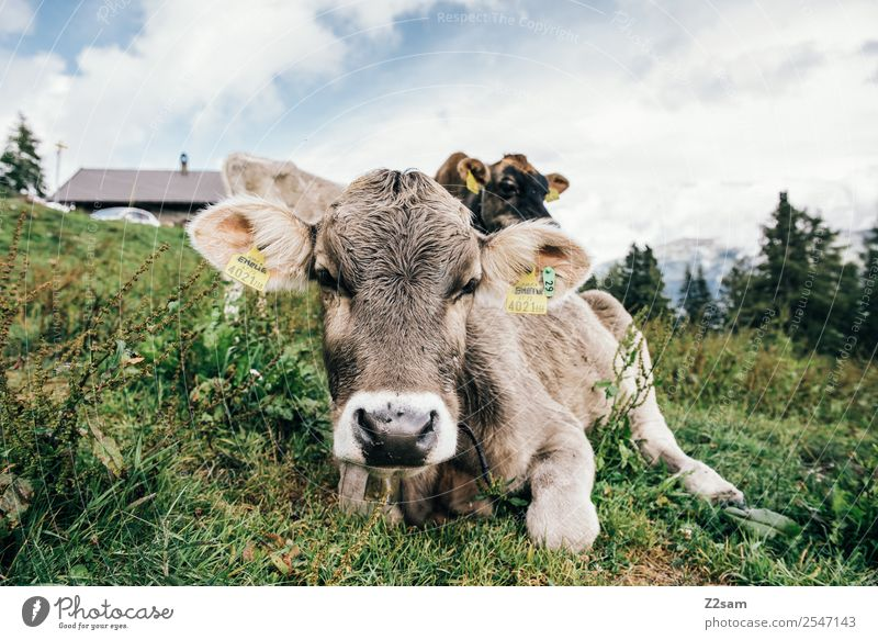Pitztal calf Mountain Hiking Environment Nature Landscape Sky Clouds Summer Beautiful weather Grass Alps Cow Herd Observe Looking Sustainability Natural Green