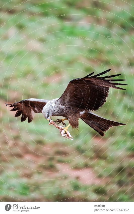 meat to go Animal Wild animal Bird Claw Paw 1 Flying To feed Brown Green Prey Hawk Bird of prey Colour photo Exterior shot Copy Space left Copy Space right