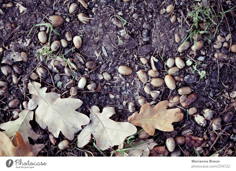 Nature Leaf Autumn Environment Brown Earth Natural Ground Seasons Autumn leaves Seed Rachis Oak tree Oval Propagation Autumnal colours
