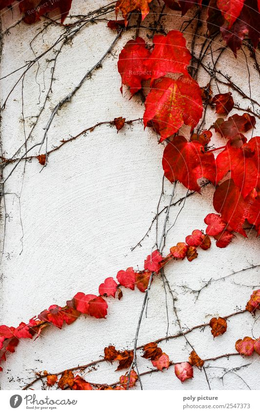 Wild Wine Environment Nature Landscape Plant Summer Autumn Climate change Beautiful weather Past Transience Future Virginia Creeper Red Wall (building) White