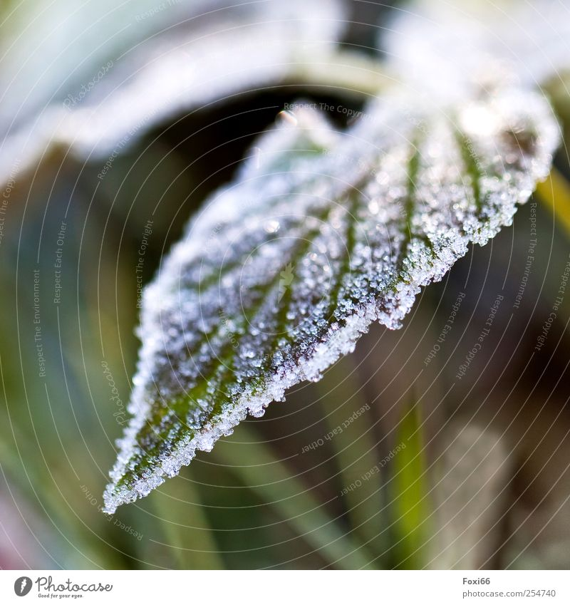 caught cold Nature Autumn Fog Ice Frost Plant Leaf Foliage plant Wild plant Stinging nettle Garden Field Cold Natural Yellow Green White Esthetic Loneliness