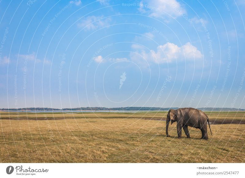 single elephant Vacation & Travel Far-off places Freedom Safari Expedition Summer Nature Meadow Animal Wild animal Elephant Elephant skin 1 Relaxation Eating