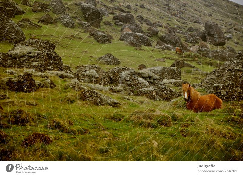 Iceland Environment Nature Landscape Plant Animal Elements Grass Hill Rock Mountain Farm animal Horse Iceland Pony 1 Natural Wild Colour photo Exterior shot