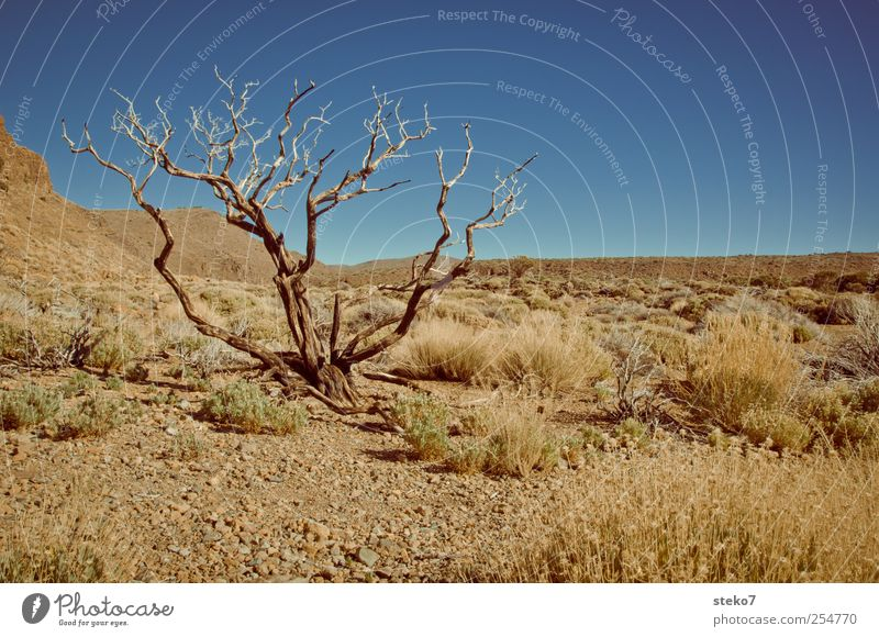 forget to water? Beautiful weather Drought Tree Bushes Desert Dry Blue Brown Shriveled Tenerife Bleak Colour photo Exterior shot Deserted Copy Space right