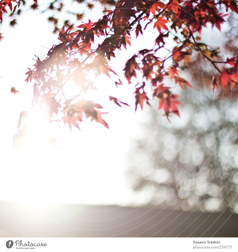 Sky Nature Tree Red Sun Leaf Autumn Park Beautiful weather To enjoy Hang Autumn leaves Lens flare Autumnal colours Wild plant