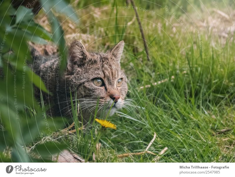 Lurking Wildcat Nature Animal Sun Sunlight Beautiful weather Flower Grass Forest Wild animal Cat Animal face Pelt Wild cat Eyes 1 Observe Catch To feed Lie
