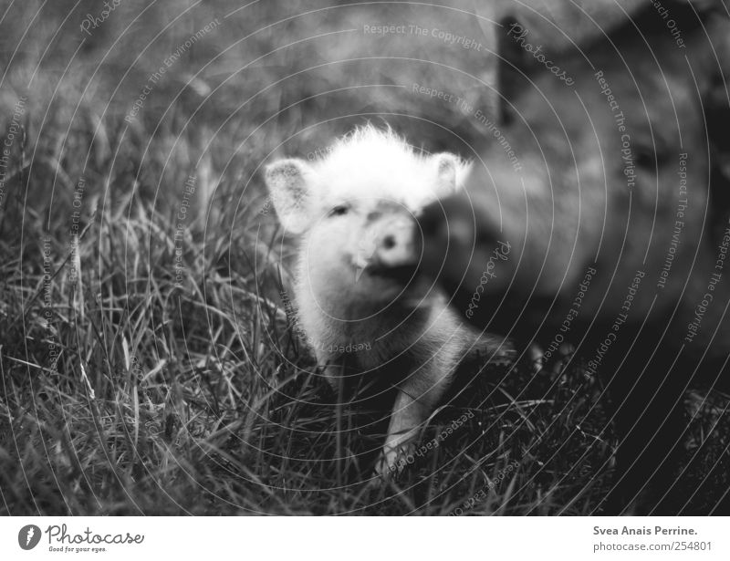 never fleeting love. Meadow Wild animal Zoo Swine Piglet 2 Animal Animal family Movement Kissing Dark Trust Black & white photo Exterior shot Low-key