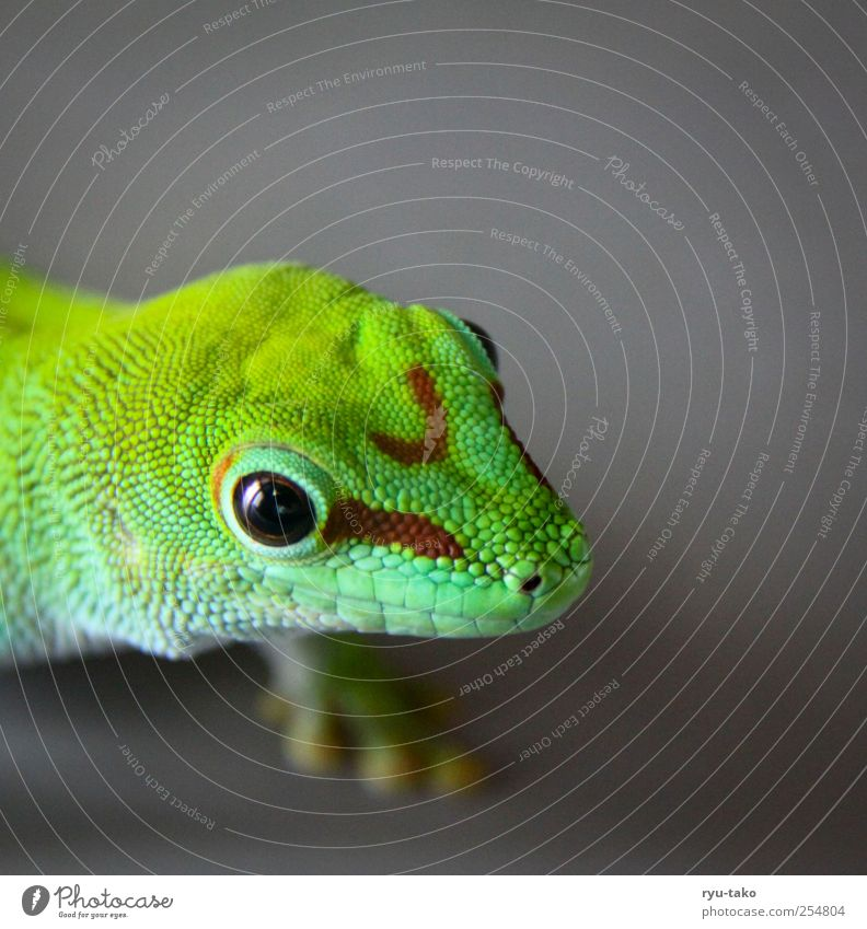 Green Beautiful Animal Eyes Gray Walking Observe Curiosity Near Exotic Crawl Reptiles Stagnating Saurians Scales Gecko