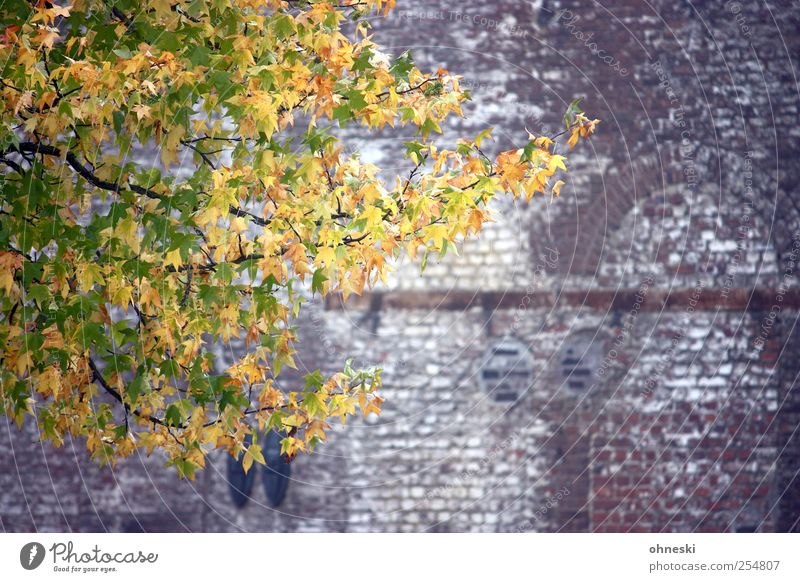 leaf wall Nature Autumn Tree Leaf Branch Wall (barrier) Wall (building) Facade Stone Brick Multicoloured Yellow Gold Green Hope Life Contrast Colour photo