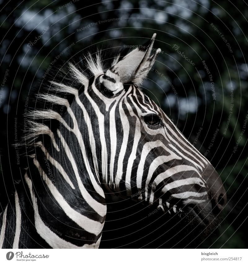 Zebra I Wild animal Animal face Ear Mane Eyes Stripe Head Black White Watchfulness Looking into the camera Africa Colour photo Subdued colour Exterior shot