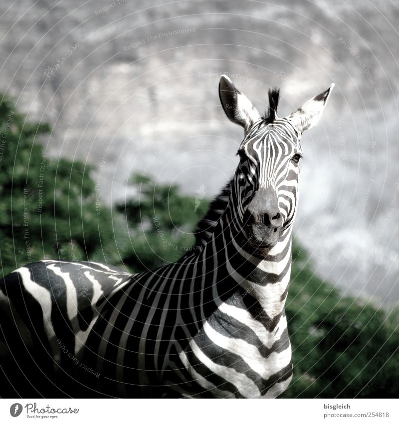 Zebra II Animal Wild animal 1 Stand Black White Attentive Watchfulness Africa Colour photo Subdued colour Exterior shot Deserted Copy Space top Day