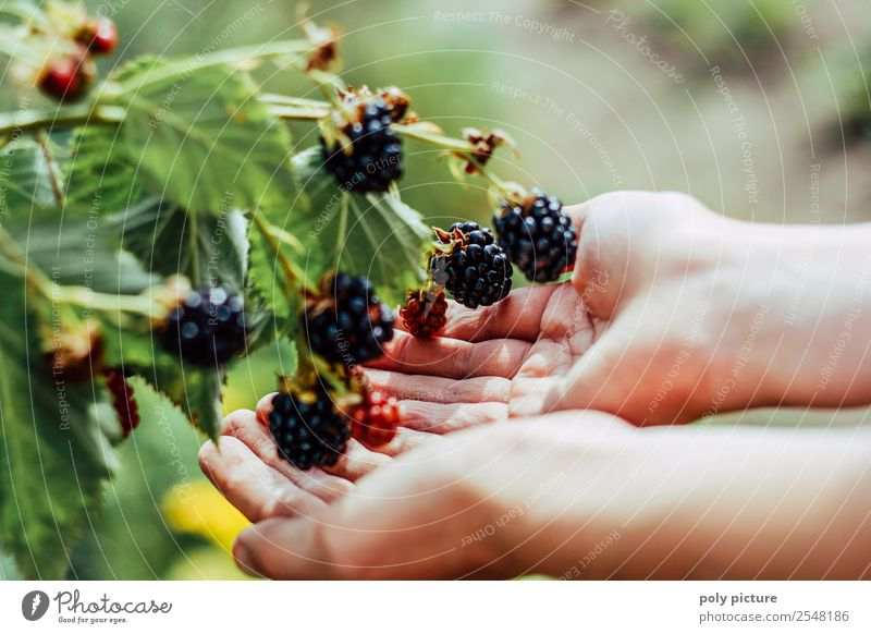 Children's hands holding blackberries Healthy Eating Leisure and hobbies Summer vacation Garden Toddler Family & Relations Infancy Youth (Young adults) Life