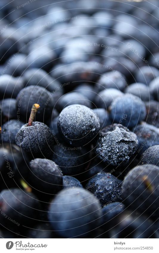 Frozen sloe harvest Fruit Freeze Fragrance Fresh Round Sour Blue Cold Nature Berries Sloe Harvest Supply Food Many Stalk Colour photo Subdued colour