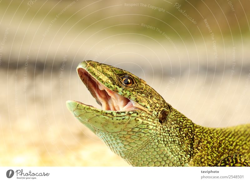 angry male green lizard portrait Beautiful Skin Man Adults Mouth Nature Animal Threat Small Natural Wild Anger Green Dangerous Colour head Open bite attack
