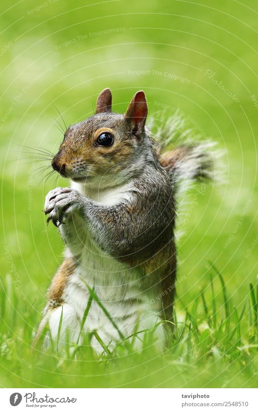 curious grey squirrel on lawn Beautiful Garden Nature Animal Grass Park Forest Fur coat Feeding Stand Small Funny Natural Cute Wild Brown Gray Green Appetite