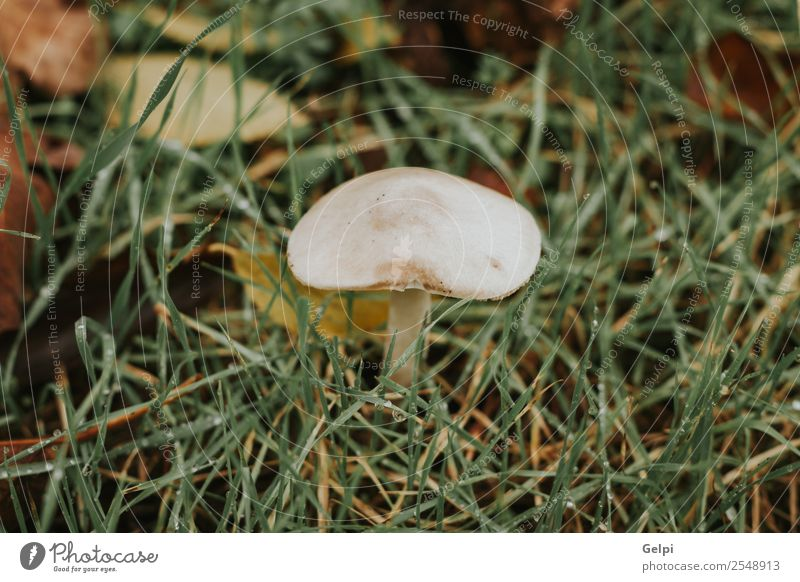 White mushroom in the forest with grass around Environment Nature Plant Autumn Grass Park Forest Hat Growth Bright Natural Wild Brown Green Colour Mushroom