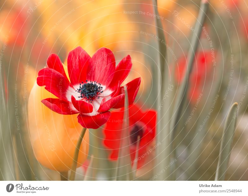 Red Anemones - Flowers and Nature Elegant Design Wellness Harmonious Calm Spa Decoration Wallpaper Feasts & Celebrations Valentine's Day Mother's Day Easter
