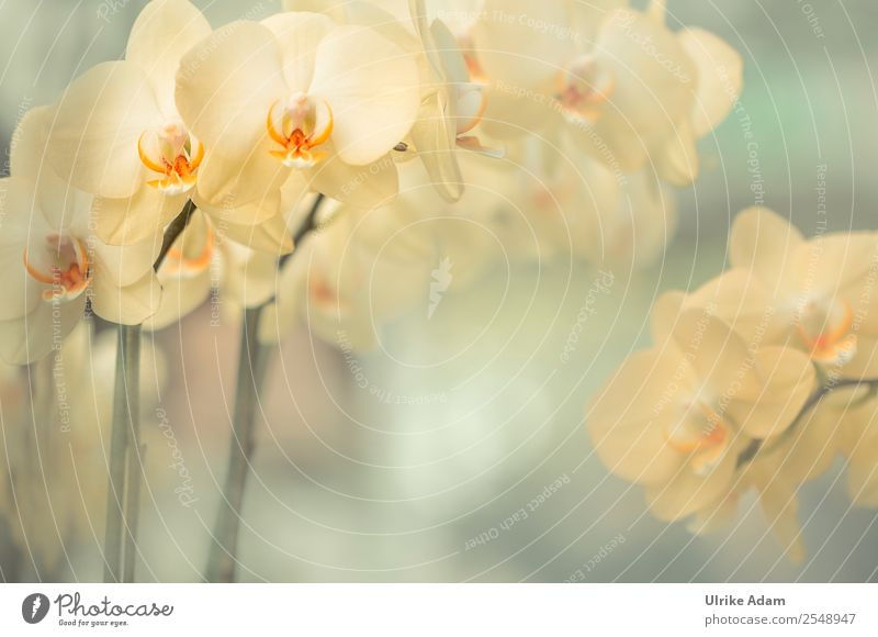 Yellow Orchids - Flowers Style Design Beautiful Wellness Life Harmonious Well-being Contentment Relaxation Calm Meditation Cure Spa Massage
