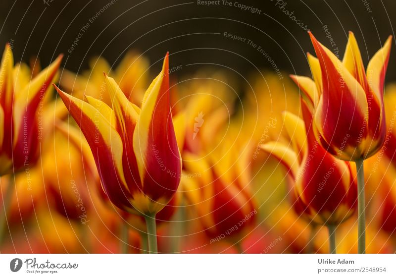 Sea of flames - Tulip flowers - Colourful flowers Elegant Style Design Wellness Life Harmonious Well-being Contentment Relaxation Calm Meditation Decoration