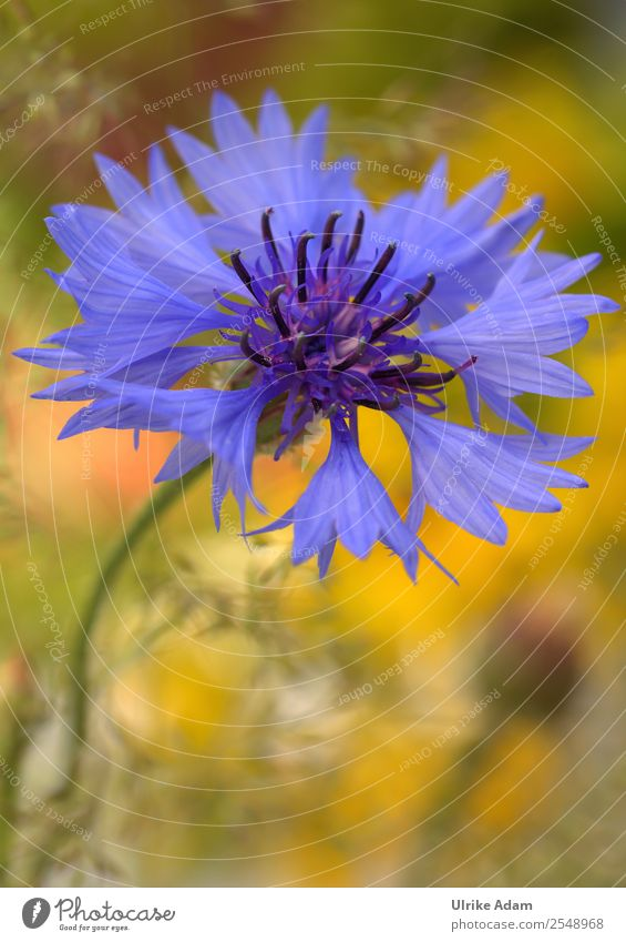 cornflower Design Wellness Harmonious Well-being Contentment Relaxation Calm Meditation Spa Decoration Wallpaper Image Card Feasts & Celebrations Mother's Day