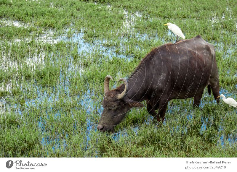 water buffalo Nature Animal Blue Brown Green White Marsh Water buffalo Antlers Bird Living thing Grass Colour photo Exterior shot Deserted Day Animal portrait