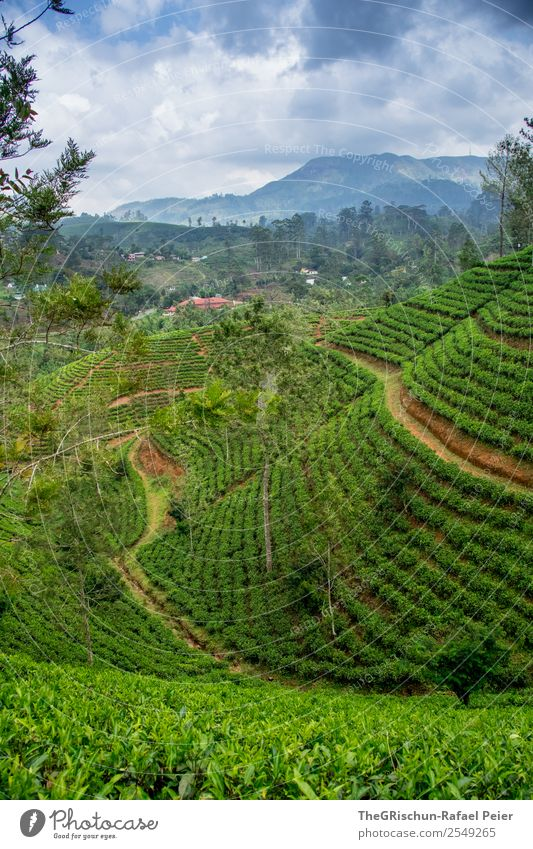 tea hill Nature Landscape Blue Green Tea Tea plantation Field Drinking Idyll Beautiful indescribably Sri Lanka Travel photography Discover Adventurer Hill