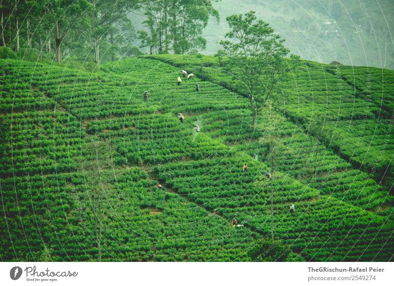 tea plantation Nature Landscape Green Tea Tea plantation Plow Collection Harvest Sri Lanka Idyll Beautiful Esthetic Tree Tourism Colour photo Exterior shot