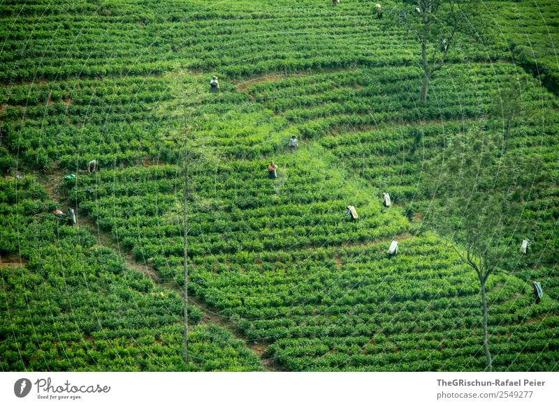 tea plantation Nature Landscape Green Tea plantation Harvest Logistics Tourism Sri Lanka Work and employment Exterior shot Effort Hill Field Plant Colour photo