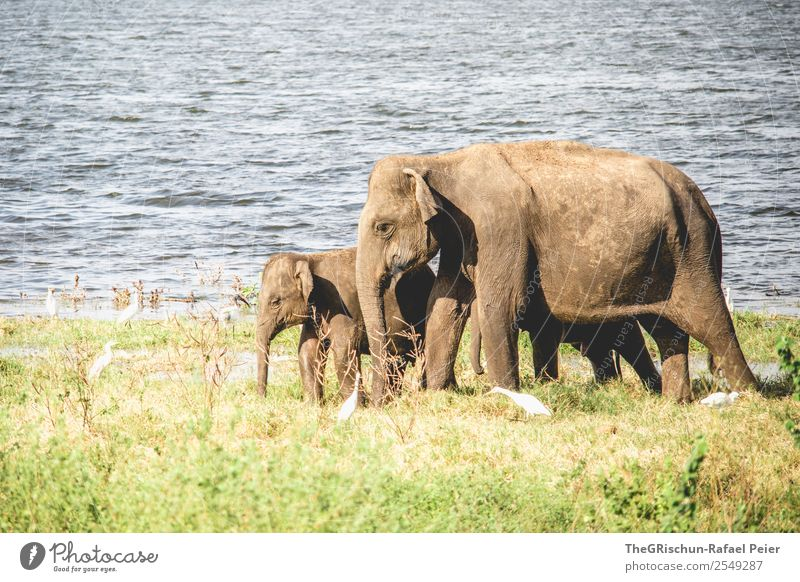 Mama - Love Animal 2 Baby animal Animal family Brown Green Elephant Baby elefant Trunk Lake Sri Lanka Nature reserve Safari Travel photography Vacation & Travel