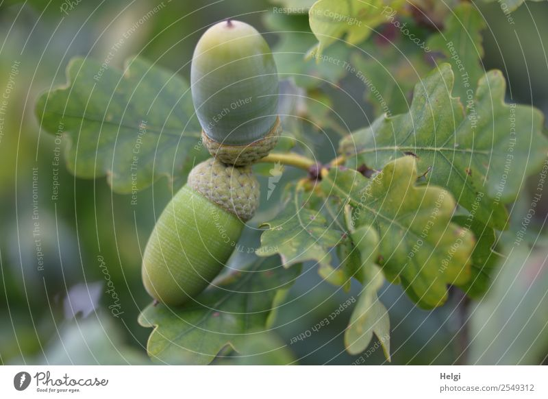 Acorns on the tree Environment Nature Plant Autumn Tree Leaf Wild plant Fruit Oak leaf Forest Hang Growth Small Natural Gray Green Twig Colour photo