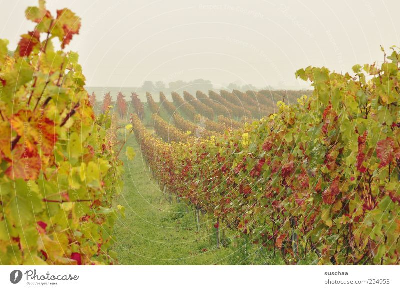 SÜW Environment Nature Landscape Sky Horizon Autumn Climate Field Green Idyll Perspective Agriculture Vineyard Manmade landscape Wine growing Vine leaf