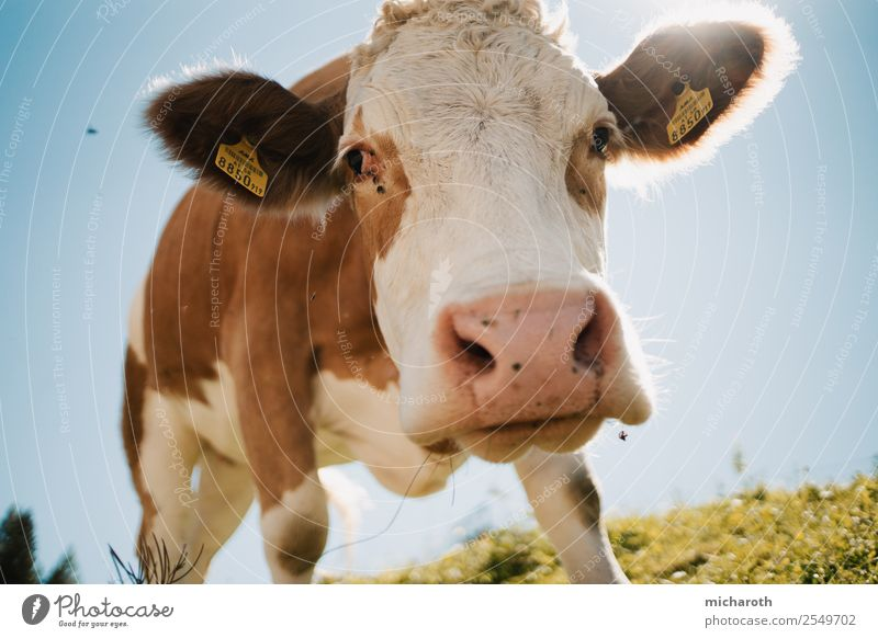 Curious cow Vacation & Travel Tourism Trip Adventure Summer Summer vacation Mountain Hiking Agriculture Forestry Craft (trade) SME Environment Nature Climate