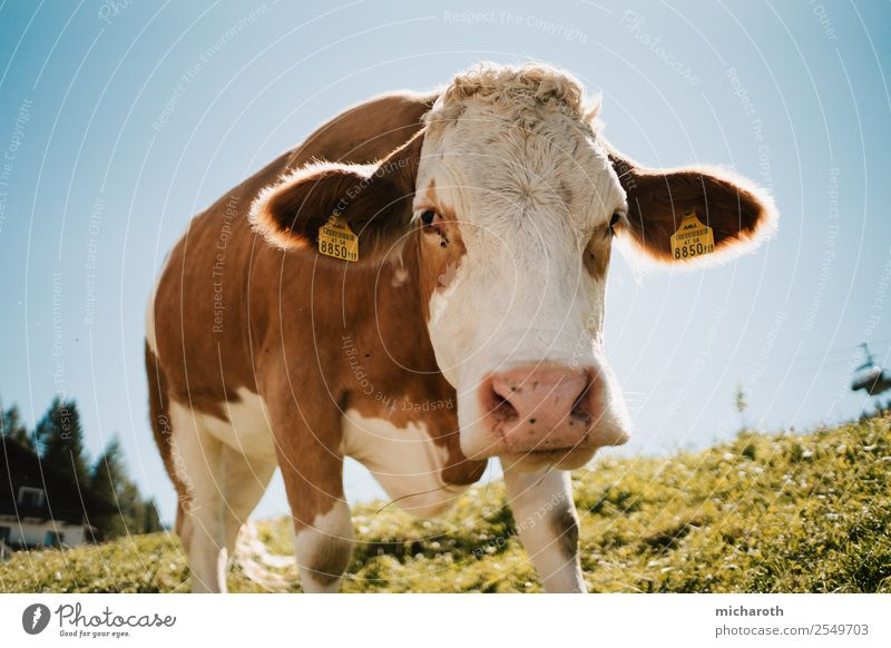 cow Renewable energy Environment Nature Landscape Sky Spring Summer Climate Climate change Grass Meadow Alps Mountain Animal Farm animal Cow Animal face 1