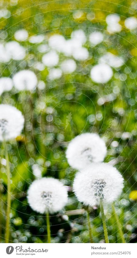 Impressionistic, snow ball-like objects Plant Green Meadow Flower meadow Dandelion Round White Blur Spotted Colour photo Exterior shot Shallow depth of field