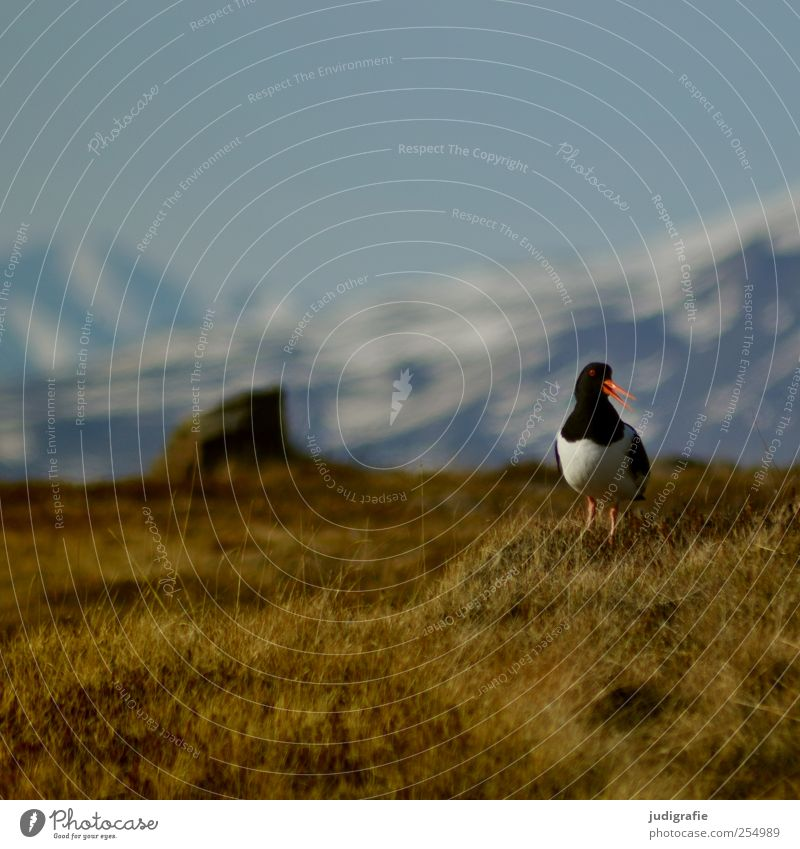 Nature Plant Animal Environment Landscape Mountain Grass Bird Natural Wild Wild animal Iceland Oyster catcher