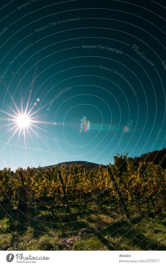 Palatine Sun Star Agriculture Forestry Wine growing Environment Nature Landscape Plant Sky Cloudless sky Sunlight Summer Autumn Climate Weather
