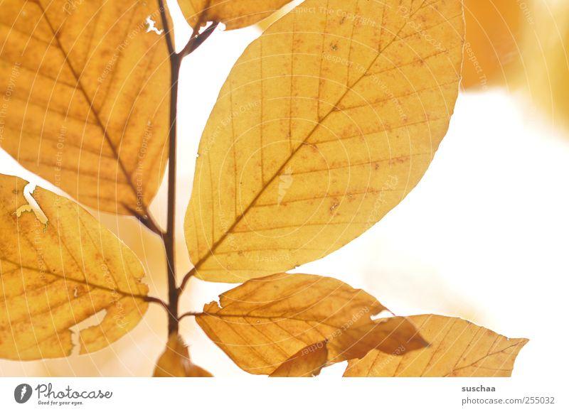 autumn leaves Nature Sky Autumn Climate Esthetic Yellow Gold Change Seasons Rachis Translucent Leaf Crack & Rip & Tear Autumnal Colour photo Exterior shot